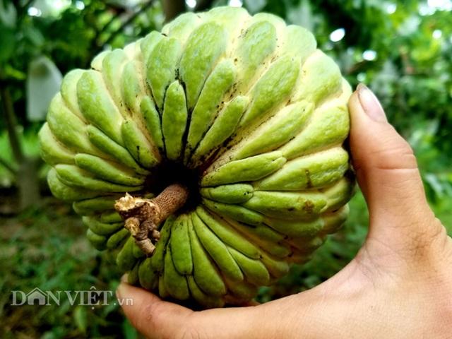 Cận cảnh giống na cho trái khủng, thu mỗi vụ trung bình 1 triệu đồng/cây - 3