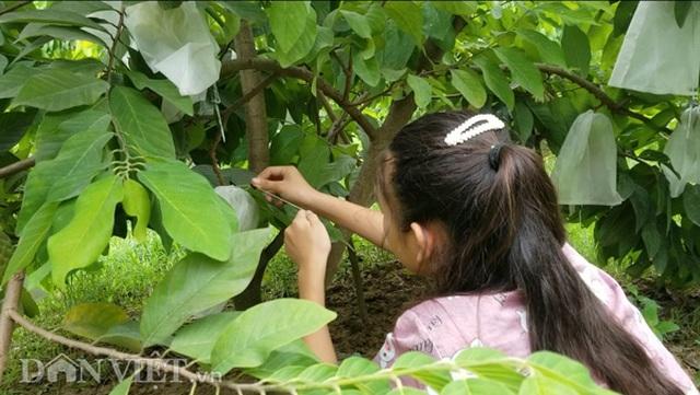 Cận cảnh giống na cho trái khủng, thu mỗi vụ trung bình 1 triệu đồng/cây - 5