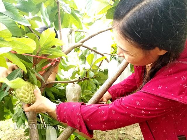 Cận cảnh giống na cho trái khủng, thu mỗi vụ trung bình 1 triệu đồng/cây - 7