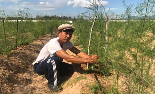 """Gã """"khùng"""" mát tay trồng măng tây trên cát, 1 tháng lãi 100 triệu đồng - 1"""