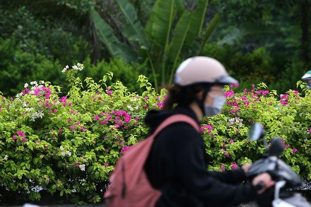 Con đường hoa giấy hiếm có ở Hà Nội - 11