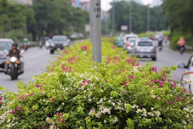 Con đường hoa giấy hiếm có ở Hà Nội - 2
