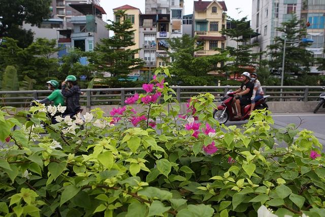 Con đường hoa giấy hiếm có ở Hà Nội - 3
