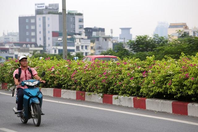 Con đường hoa giấy hiếm có ở Hà Nội - 8