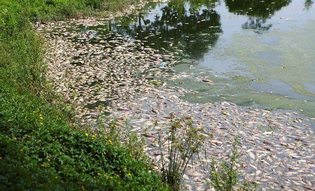 Nước bẩn từ nội thành Hà Nội đổ về khiến cá hồ Yên Sở chết - 2