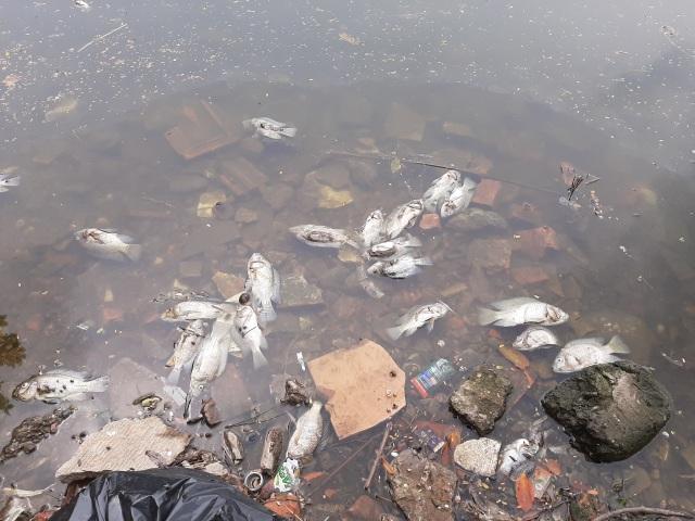 Hà Nội: Cá chết hàng loạt bốc mùi hôi thối trên hồ Trúc Bạch - 14