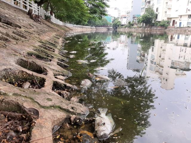 Hà Nội: Cá chết hàng loạt bốc mùi hôi thối trên hồ Trúc Bạch - 16