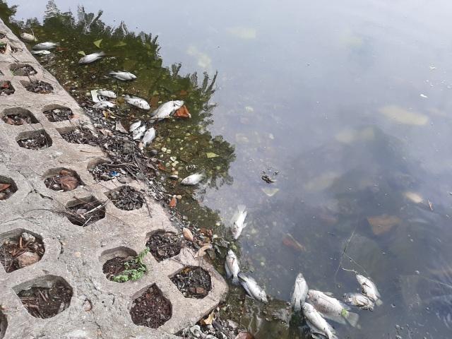 Hà Nội: Cá chết hàng loạt bốc mùi hôi thối trên hồ Trúc Bạch - 3