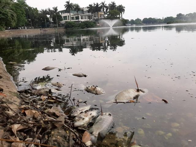 Hà Nội: Cá chết hàng loạt bốc mùi hôi thối trên hồ Trúc Bạch - 1