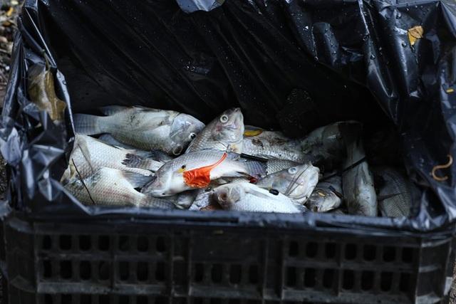 Hà Nội: Cá chết hàng loạt bốc mùi hôi thối trên hồ Trúc Bạch - 19