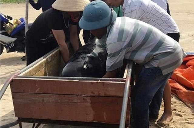 Giải cứu cá voi 150kg trôi dạt vào bờ biển - 2