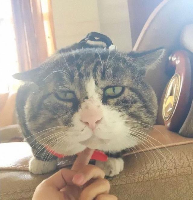 Chú mèo nổi tiếng mạng xã hội với biểu cảm gương mặt... hài hước   - 14