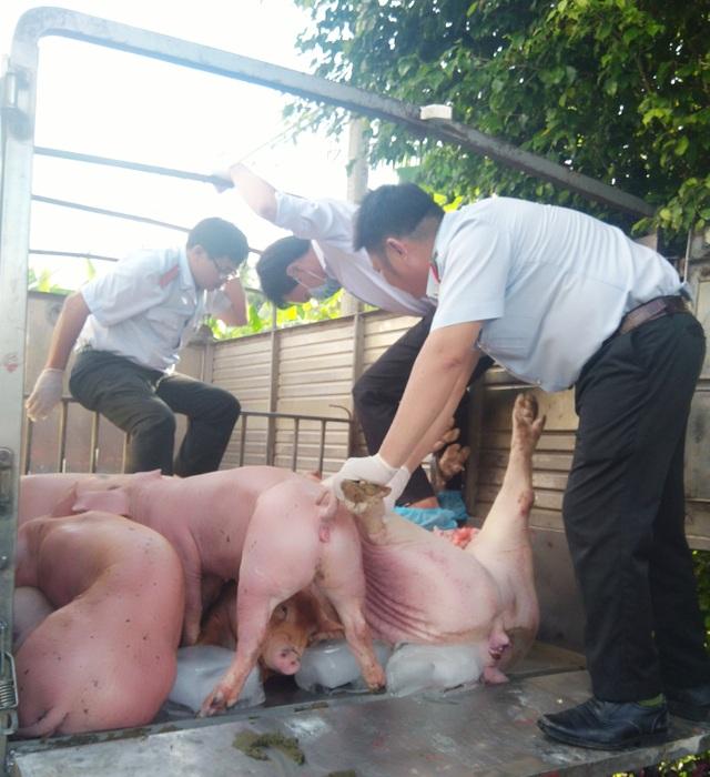 Bạc Liêu: Bắt xe tải chở hơn 1 tấn lợn nghi bị bệnh trên đường đi tiêu thụ - 1
