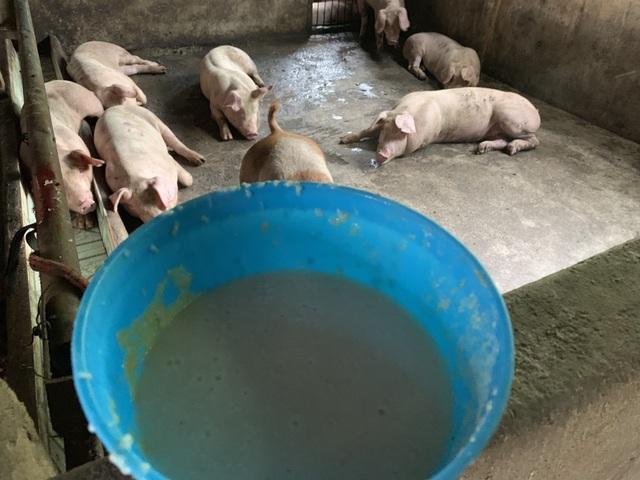 Tiết lộ bất ngờ của chủ nuôi đàn lợn thoát nhiễm dịch tả lợn châu Phi ở Đồng Nai - 2