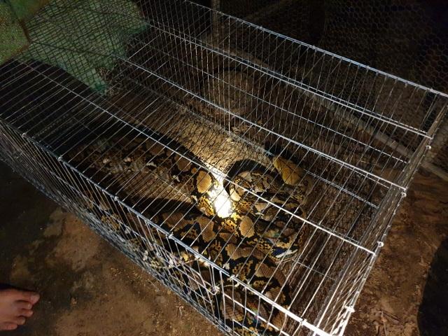 Bắt sống trăn gấm quý hiếm đang mò vào khu dân cư để ăn gà - 2