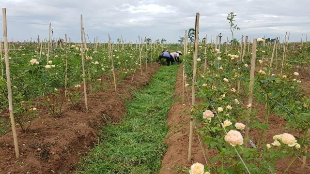Nữ giám đốc đam mê hoa hồng, sở hữu trang trại hoa hồng đẹp như cổ tích hơn 30.000m2 - 10