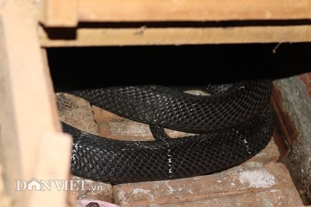 Ớn lạnh người đàn ông nuôi hơn 1.000 con mãng xà cực độc ở Lào Cai - 8