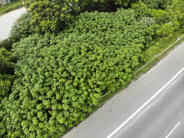 Nhìn từ trên cao rừng tái sinh suốt 24km dọc đại lộ Thăng Long - 4