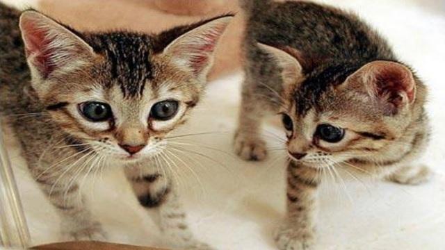 Hơn 800 triệu đồng cho một con mèo nhân bản tại Trung Quốc - 1