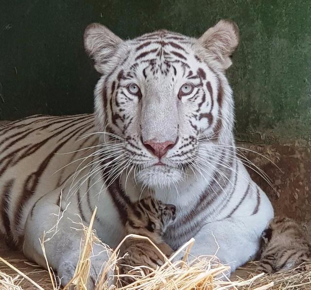 Sở thú Vườn Xoài – Đồng Nai liên tục đón nhận tin vui từ nhiều thú con mới sinh - 1