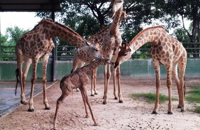 Sở thú Vườn Xoài – Đồng Nai liên tục đón nhận tin vui từ nhiều thú con mới sinh - 2