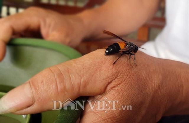 Nuôi ong vò vẽ hung dữ trong vườn, kiếm đôi trăm triệu/năm - 3