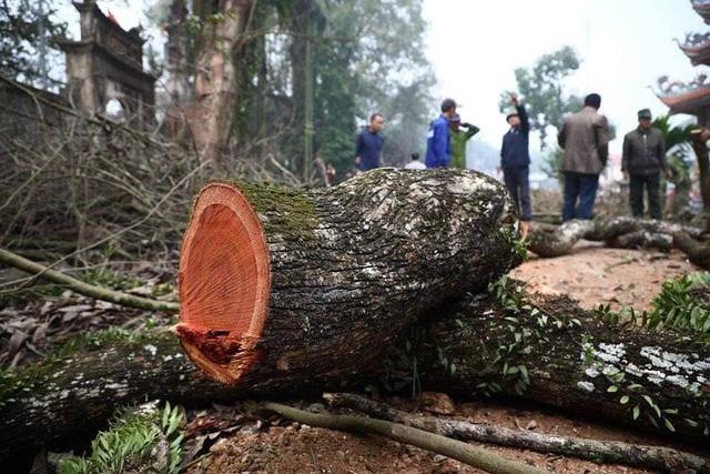Hà Nội: Số phận lô gỗ sưa trăm tỷ thôn Phụ Chính sắp được định đoạt - 1