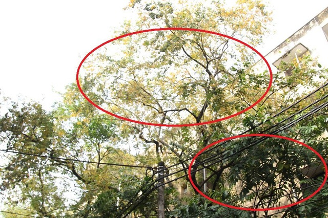 Hàng cây sưa quý ở Hà Nội bất ngờ rụng lá sau khi từ chối bán - 2