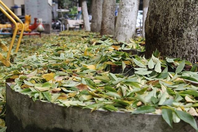 Hàng cây sưa quý ở Hà Nội bất ngờ rụng lá sau khi từ chối bán - 3