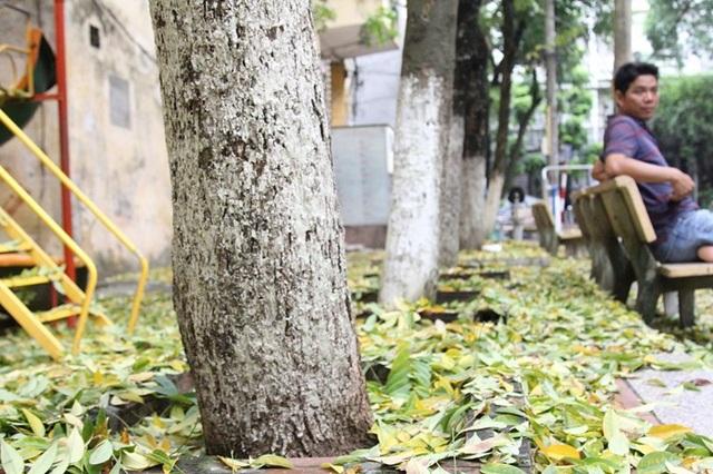 Hàng cây sưa quý ở Hà Nội bất ngờ rụng lá sau khi từ chối bán - 4