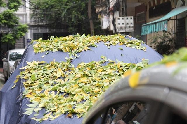 Hàng cây sưa quý ở Hà Nội bất ngờ rụng lá sau khi từ chối bán - 6