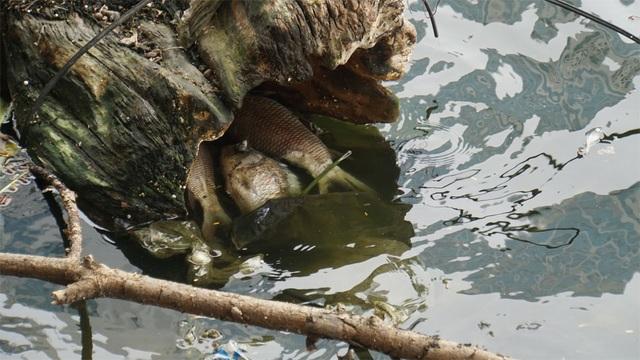 Cá chết nổi bốc mùi hôi thối ở Hồ Tây, hồ Hồ Đắc Di - 3