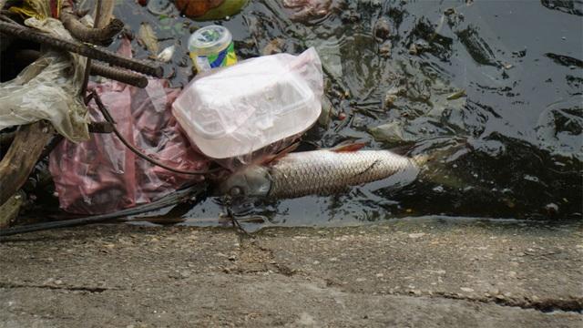 Cá chết nổi bốc mùi hôi thối ở Hồ Tây, hồ Hồ Đắc Di - 4
