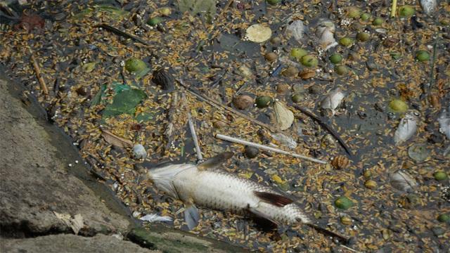 Cá chết nổi bốc mùi hôi thối ở Hồ Tây, hồ Hồ Đắc Di - 1