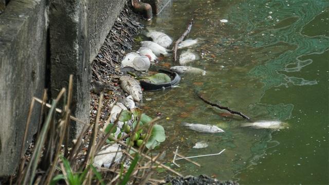 Cá chết nổi bốc mùi hôi thối ở Hồ Tây, hồ Hồ Đắc Di - 10