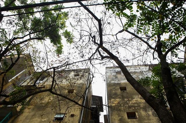 Cả khu dân cư Hà Nội cứu 3 cây sưa quý nghi bị bỏ độc - 2