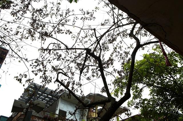 Cả khu dân cư Hà Nội cứu 3 cây sưa quý nghi bị bỏ độc - 5