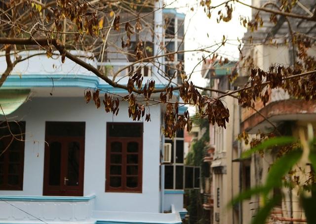 Cả khu dân cư Hà Nội cứu 3 cây sưa quý nghi bị bỏ độc - 6