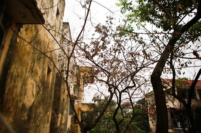 Cả khu dân cư Hà Nội cứu 3 cây sưa quý nghi bị bỏ độc - 7