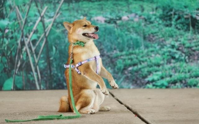 """Nhà sản xuất lên tiếng khi bị phản đối việc chọn chó Nhật đóng phim """"Cậu Vàng"""" - 4"""