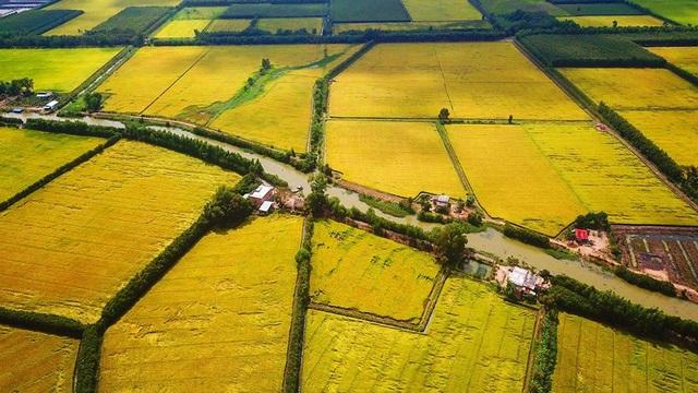 Ngắm những đồng lúa chín vàng đẹp như tranh vẽ ở Long An - 3