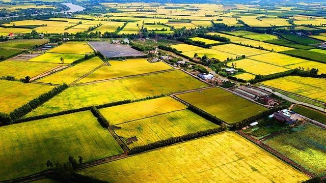 Ngắm những đồng lúa chín vàng đẹp như tranh vẽ ở Long An - 5