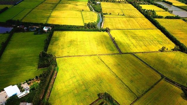 Ngắm những đồng lúa chín vàng đẹp như tranh vẽ ở Long An - 6