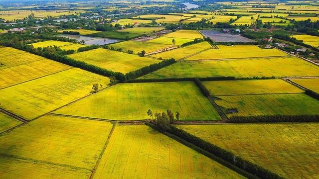 Ngắm những đồng lúa chín vàng đẹp như tranh vẽ ở Long An - 7