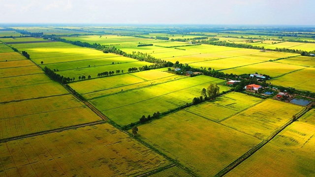 Ngắm những đồng lúa chín vàng đẹp như tranh vẽ ở Long An - 8