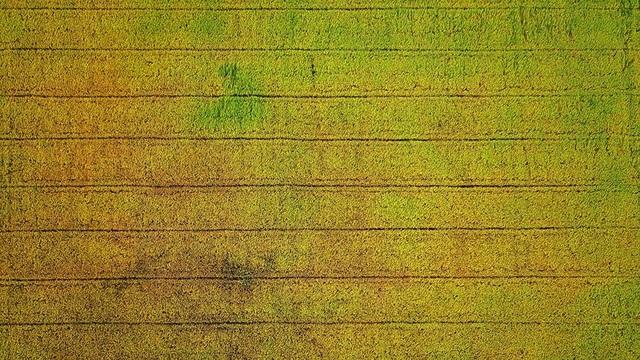 Ngắm những đồng lúa chín vàng đẹp như tranh vẽ ở Long An - 9