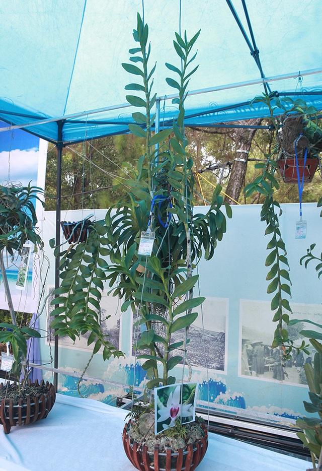 Cây lan phi điệp 5 cánh trắng độc cước, cao có 20cm mà giá 500 triệu đồng - 11