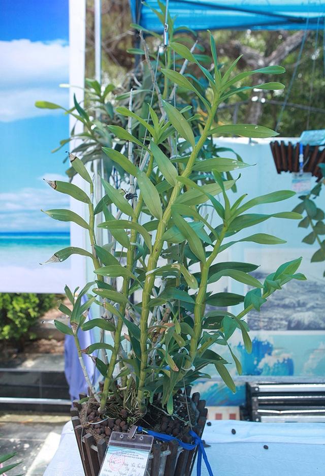 Cây lan phi điệp 5 cánh trắng độc cước, cao có 20cm mà giá 500 triệu đồng - 6