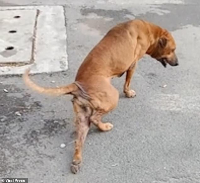 Chó giả què trên đường phố để xin ăn - 3