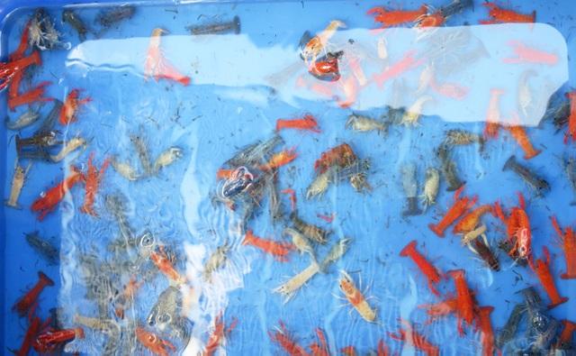 Phát hiện một cơ sở nuôi hơn 7.000 con tôm hùm đỏ - 2
